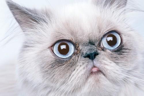 目を見開くペルシャ猫
