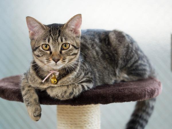 本来の日本猫のスタイルは「キジトラ」だけでしたが、今やいろいろな色やデザインを持つ猫が存在しています。このキジトラは野性の部分が残っている傾向が強く、その