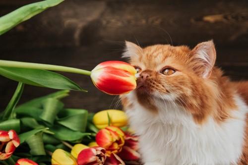 チューリップの匂いを嗅ぐ猫