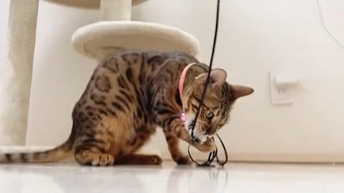 おもちゃをくわえる猫