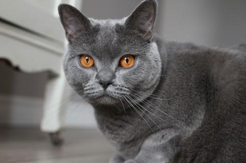 微笑みの猫シャルトリュー