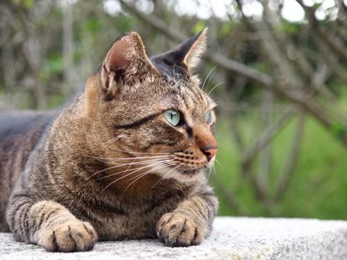 野生心の強いキジトラ