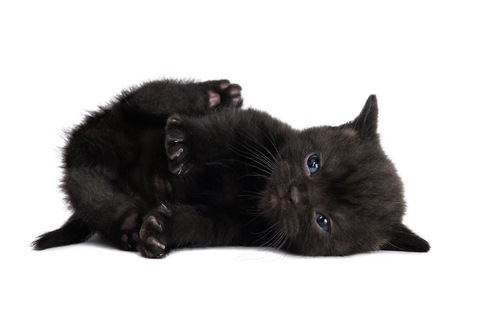 寝転んでいるブリティッシュショートヘアの子猫
