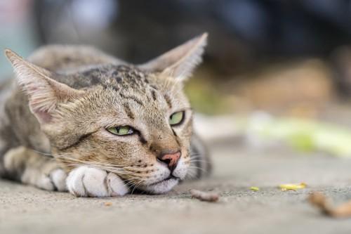 手を枕にして眠そうな猫