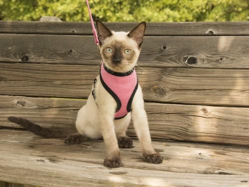 ピンクのハーネスをつけてベンチに座る猫