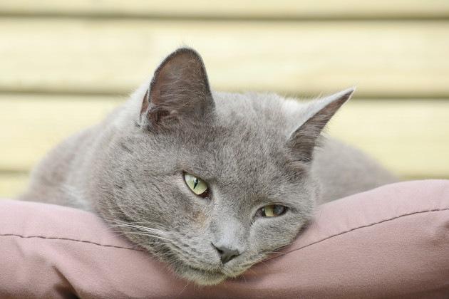 座布団の上に顎をのせている猫