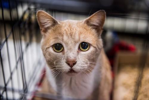 悲しげな表情で見つめるケージの中の猫
