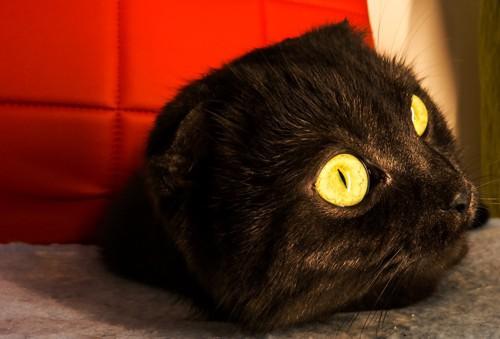 マンチカン子猫