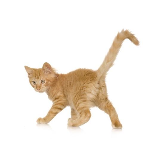 振り返る茶色の猫