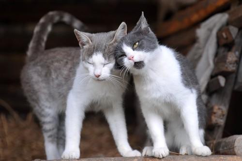 頭をすりつける猫