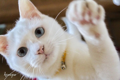 白猫ぷるさんのかわいいアップ