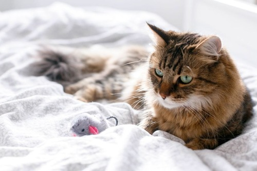 ベッドの上のキジトラ長毛