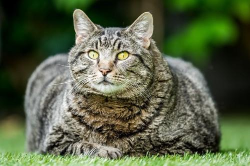 外にいるものすごく太った猫