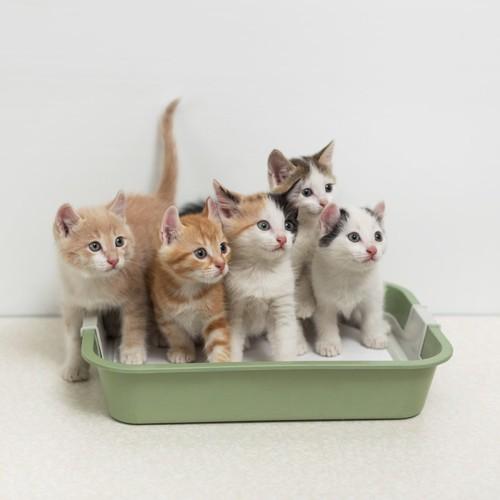 5匹の子猫が入った猫トイレ