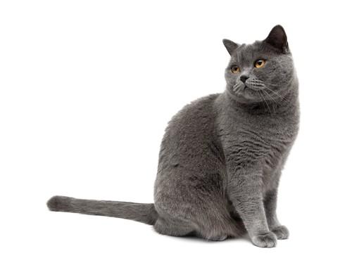 座って後ろを見る灰色の猫