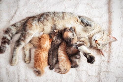 授乳する母猫と仔猫