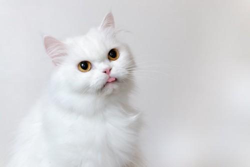 舌を出した白い猫