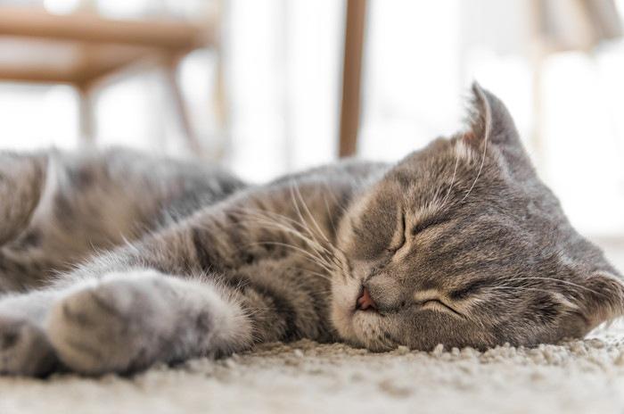 眠っているトラ猫