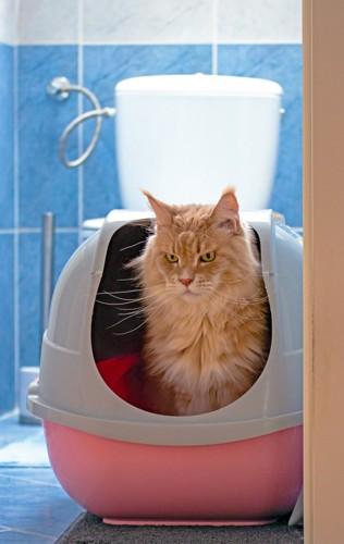 トイレに入る茶色の長毛猫