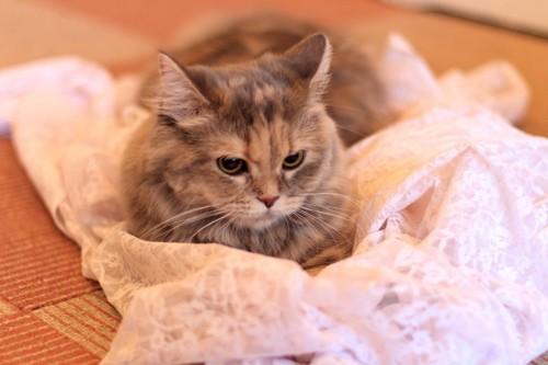 伏せ座りする猫