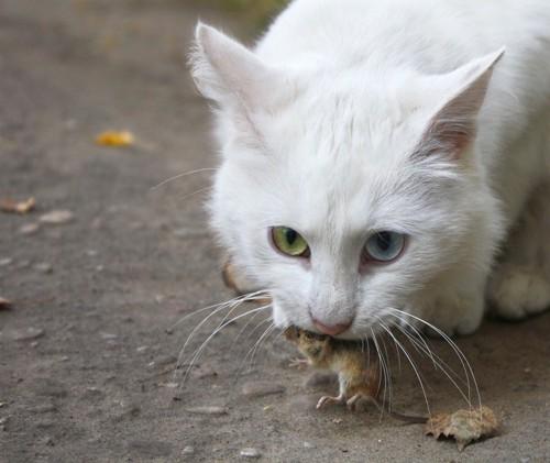 白猫がネズミを咥えている