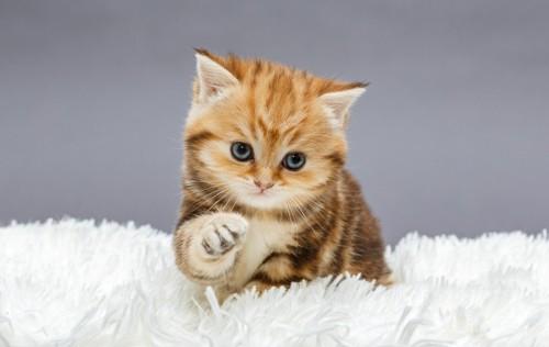 毛布に乗る猫