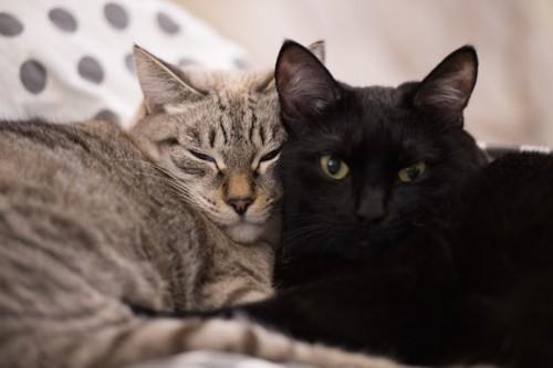 一緒のベッドでくっついて眠る二匹の猫