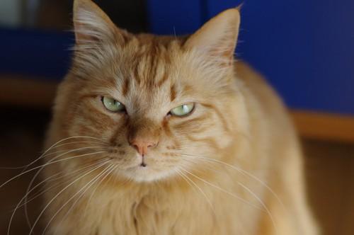 怒っているような表情の猫