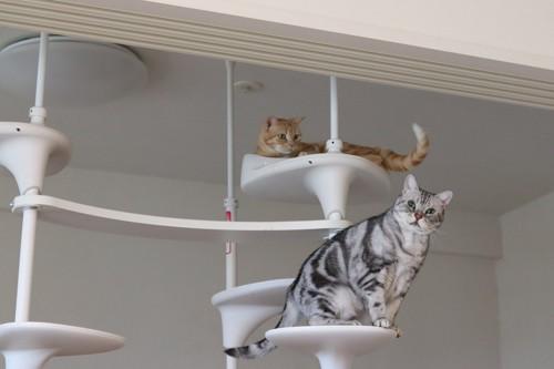 突っ張り型のキャットタワーと猫