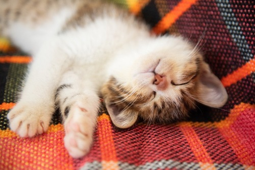 仰向けになって寝ている子猫
