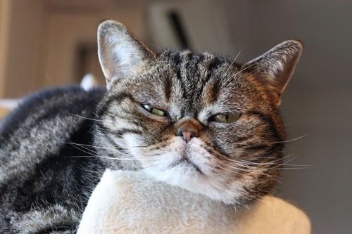 不機嫌な顔の猫