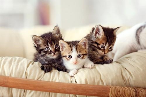 カゴに入っている子猫たち