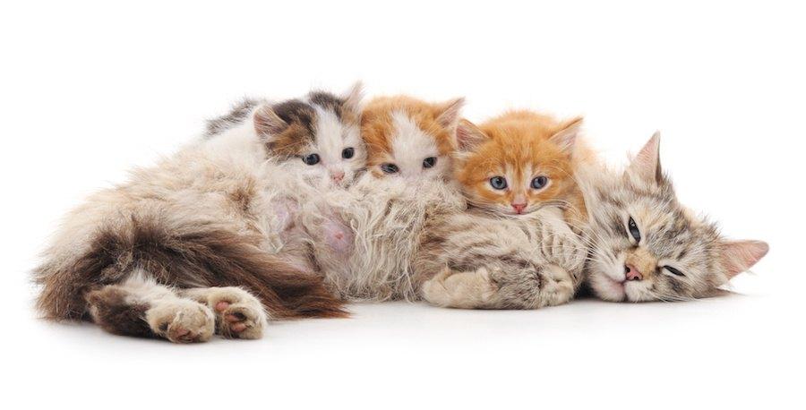 母猫に甘える柄の違う3匹の子猫
