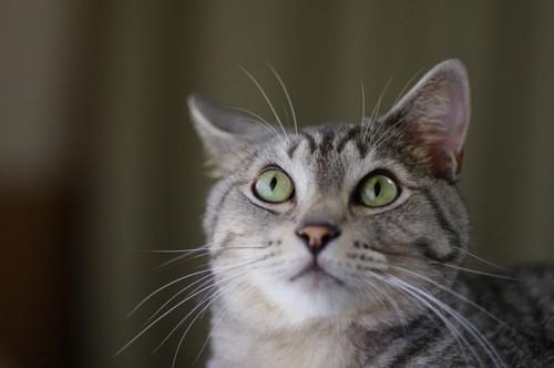 耳を動かす猫