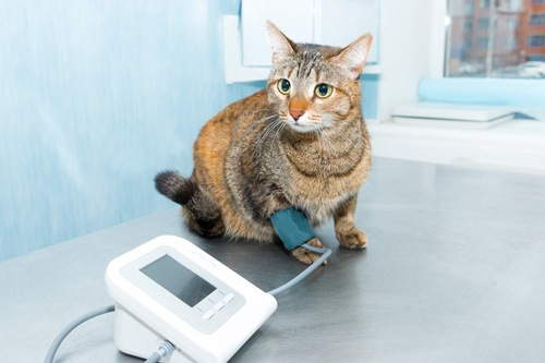 血圧を測る猫
