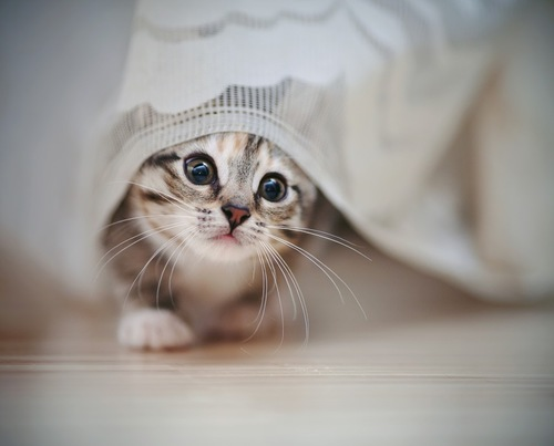 カーテンから顔を出している猫