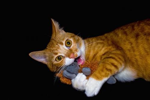 おもちゃを掴んで齧る猫