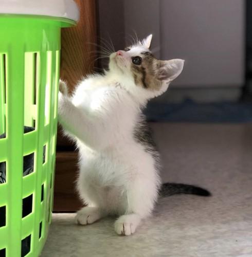 立ち上がった子猫