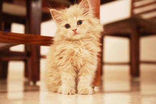 お座りしているペルシャの子猫