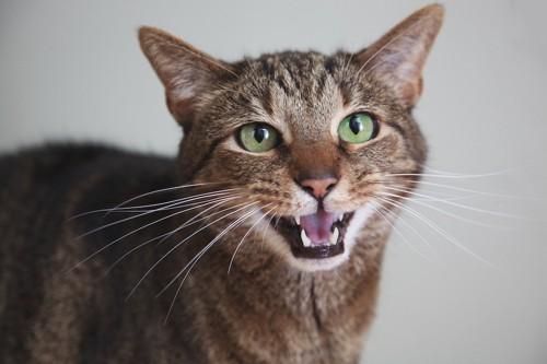 鳴いて訴える緑の目の猫