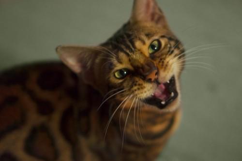 見上げてなく猫