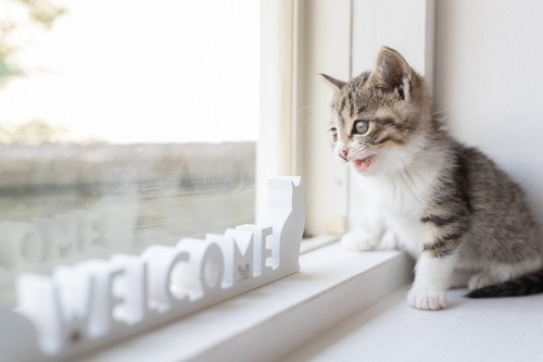 窓から下を見て鳴く子猫