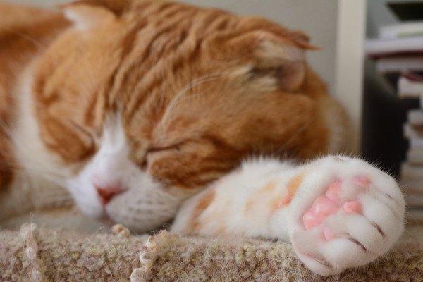 寝ている茶色と白の爪が黒いかも知れない猫の手