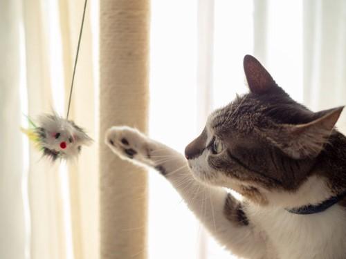 オモチャで遊ぶ白キジ猫