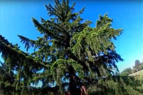 猫のデイジーが立ち往生した木