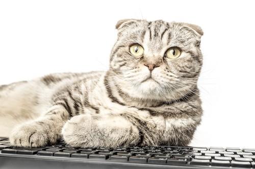 キーボードに座る猫