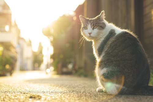 夕日をバックに座る猫