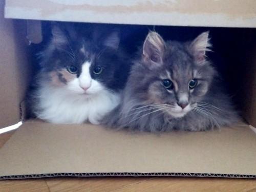 ダンボール箱に2匹の猫・三毛とブルー