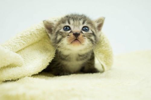 毛布の中の仔猫