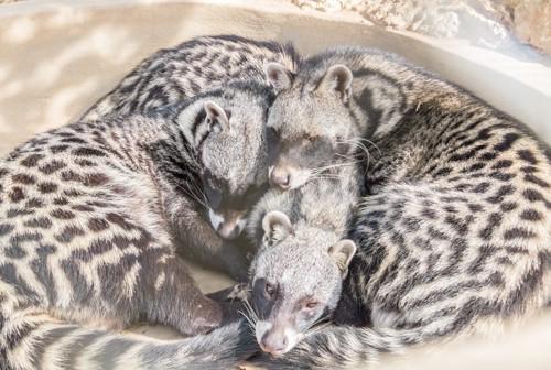 ジャコウネコ三匹